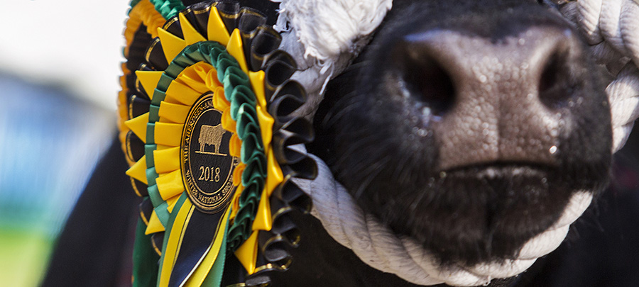 Aberdeen-Angus show winner with rosette