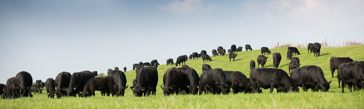 Aberdeen Angus Cattle Grazing